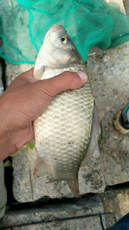 钓鱼吧_【图片】野钓一斤多鲫鱼不小了吧【钓鱼吧】_百度贴吧
