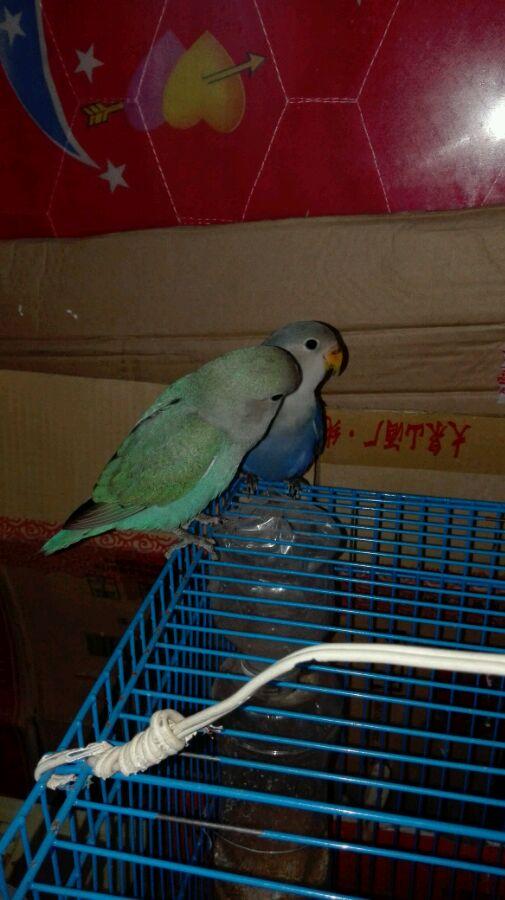 绿金丝牡丹鹦鹉_【图片】第一次手养绿金顶鹦鹉…… 昨天刚来!【牡丹鹦鹉吧 ...