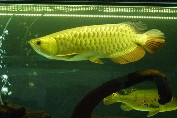 蓝底高背金龙鱼价格_【图片】【转】金龙鱼品种分类详解_龙鱼吧_百度贴吧