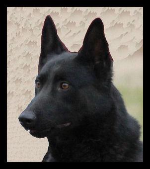 纯黑马犬图片_比利时黑色马犬