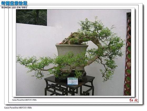 大阪松养护_悬崖式盆景可分为几类图片
