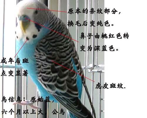 天空蓝灰翅图片_【图片】虎皮鹦鹉分公母,看年龄技巧,看这里!_虎皮鹦鹉吧 ...