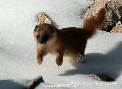 黄鼬宠物_【图片】貂跟黄鼠狼【宠物貂吧】_百度贴吧