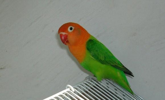 绿金丝牡丹鹦鹉_【图片】稀有品种之红眼黄金丝牡丹鹦鹉!!!_牡丹鹦鹉吧_百度 ...
