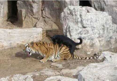 虎落平阳被犬欺全文_回复:终于找到斯巴达克斯不徒手杀虎的证据了。_斯巴达克斯吧 ...