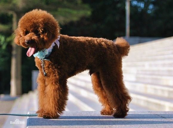 fcc标准_【图片】狗狗品种及价格【宝应吧】_百度贴吧