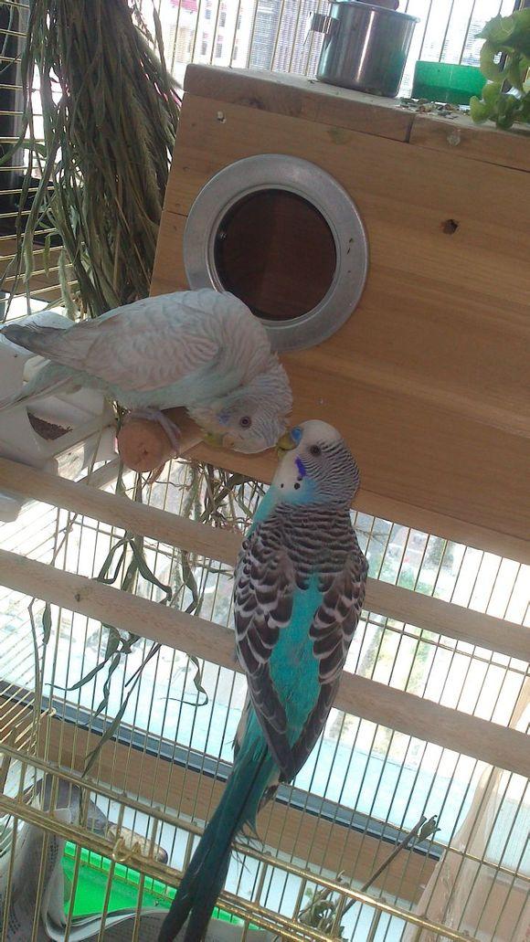 天空蓝灰翅图片_【图片】虎皮鹦鹉打开笼门与半手养_虎皮鹦鹉吧_百度贴吧