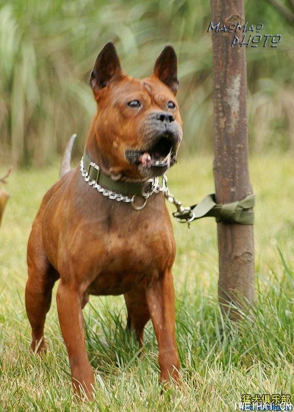 川东猎犬多少钱一只_【图片】展示一下国产犬们【土狗吧】_百度贴吧