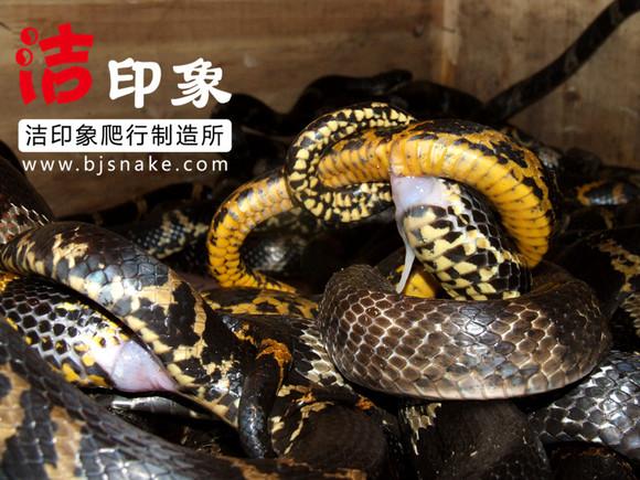 猪交配图_【图片】没事看了点帖,说句实话,不要考虑开蛇厂繁殖。【养 ...