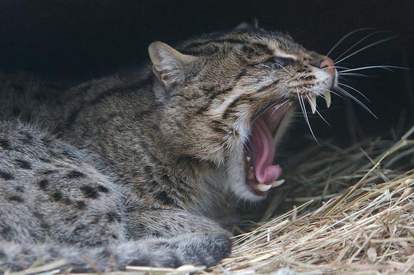 亚洲金猫_关于渔猫的头骨大小,我觉得可能接近亚洲金猫略大于狞猫