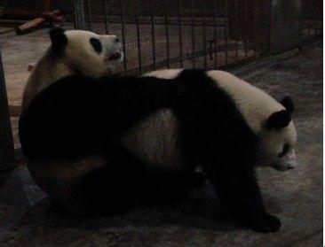 大屁股性交_前几天网上发了大熊猫交配的视频,为什么饲养员拿一个