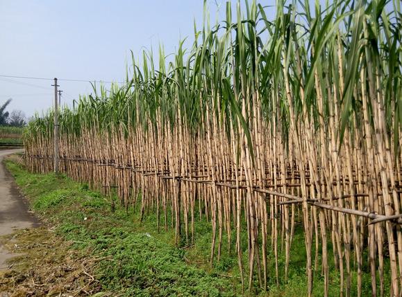 四川甘蔗_四川-泸州-江北镇 大量青皮甘蔗出售