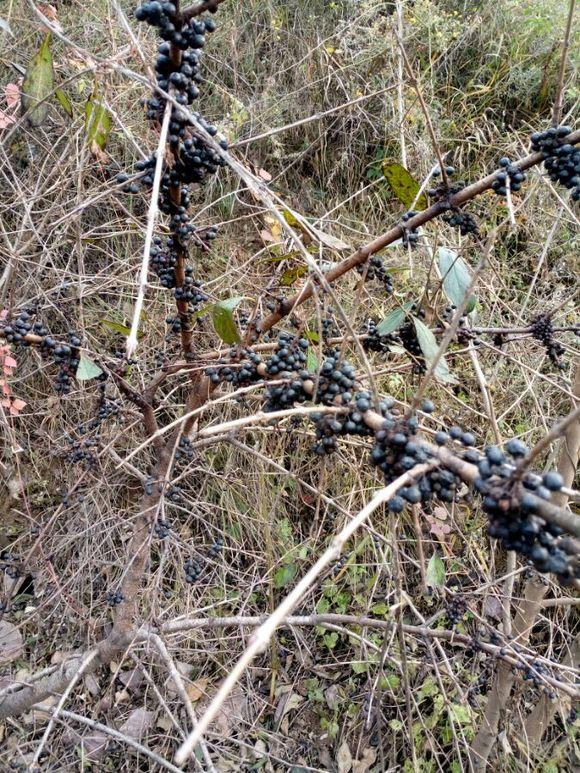 老乌眼树死了什么颜色_这两种那个是老乌眼?
