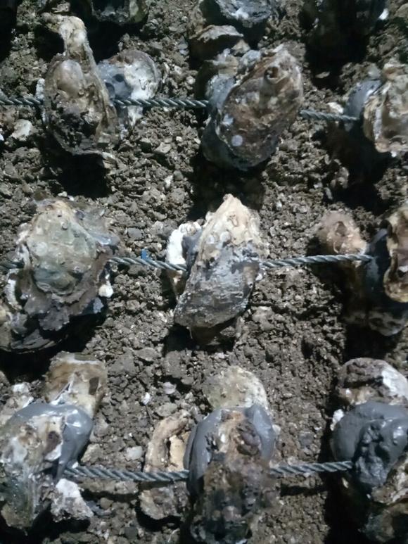 ��ϖ��_珠海求购蚝苗,用于养殖,有货源到联系
