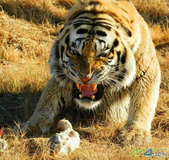 做梦梦到老虎和狮子_为什么\