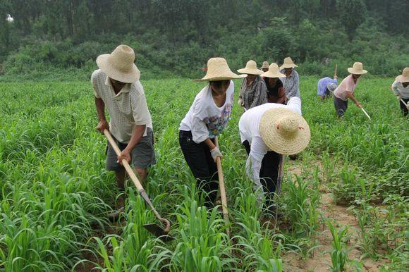 瑞兰2叵.?j?_金叵罗小米种植基地谷子播种面积800亩