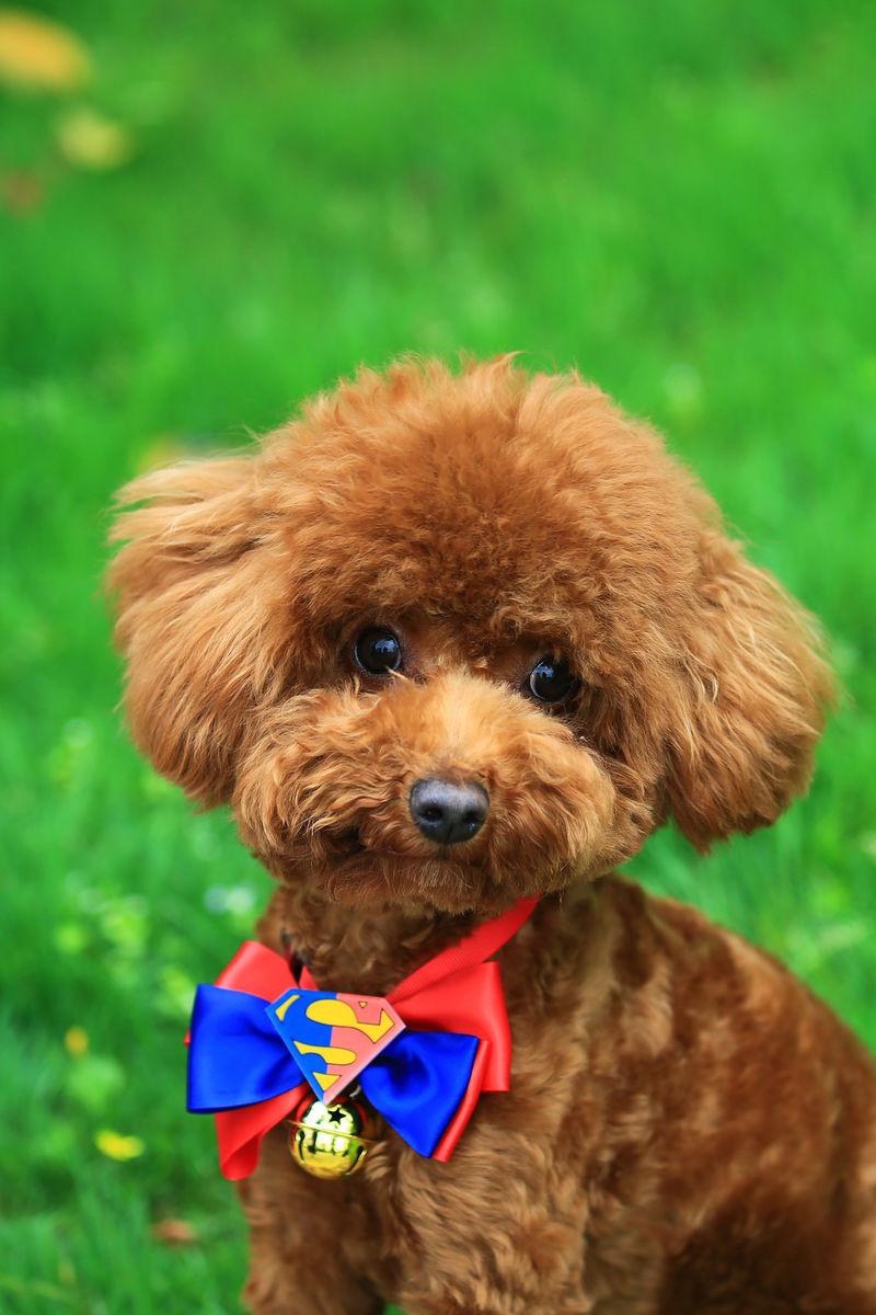 给狗带牛的名字_泰迪犬取什么名字好听-给狗狗取名字呆萌些的,泰迪犬取名字大全 ...