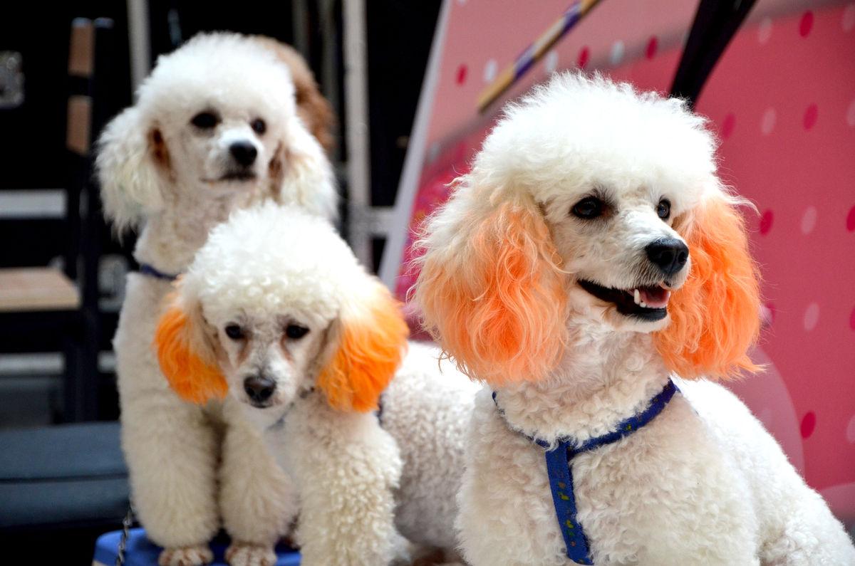 贵宾狗和泰迪的区别_泰迪狗的图片大全-泰迪犬图片_泰迪狗的图片 可爱_小泰迪狗一只 ...