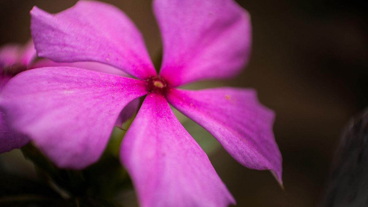 市永嘉(baramasi)花