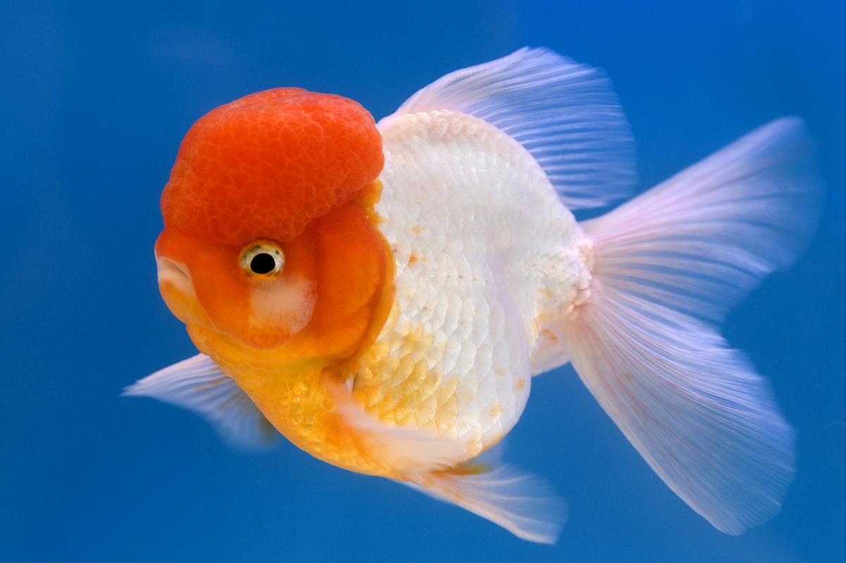 狮子头鱼能长多大_狮子头金鱼头上有白霜-金鱼身上有白霜|狮子头金鱼烂头|狮子头 ...