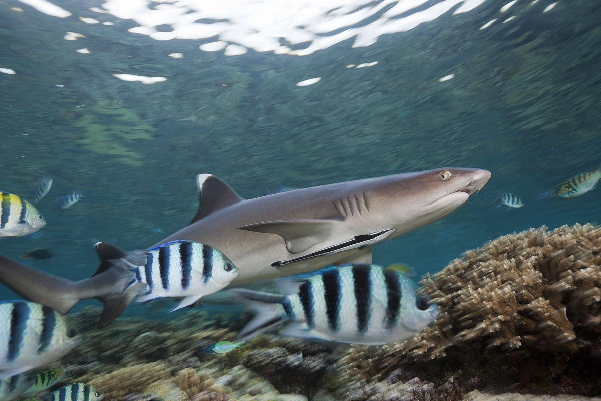 Shark Lagoon Fr