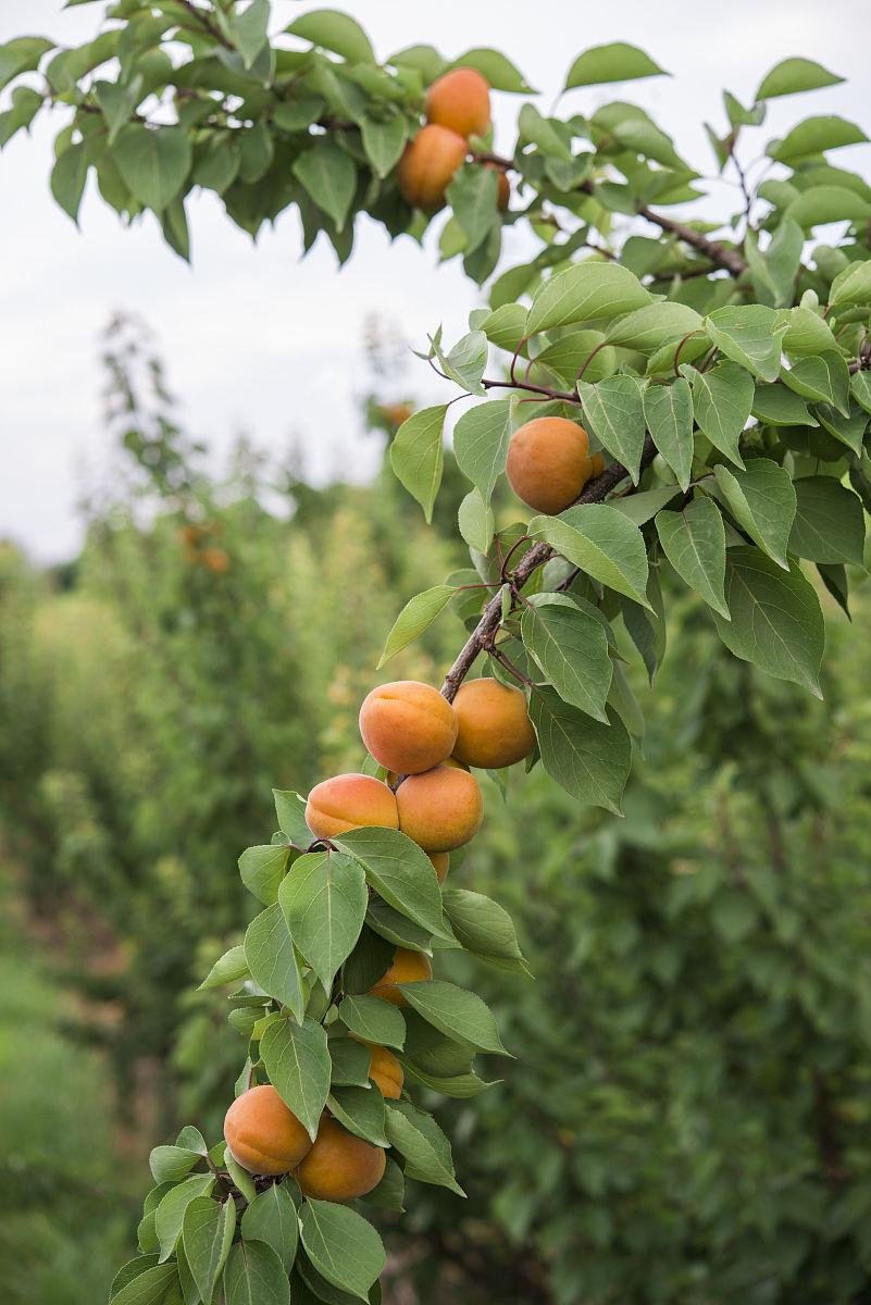 苹果树成长过程图片_某果园有100棵桃树-果园里有桃树120棵/桃树有1200棵/某果园有100棵 ...