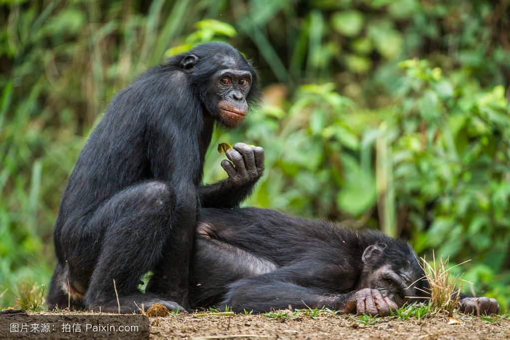 人类性交视频_猩猩和人类能杂交吗-生殖隔离,猩猩和人类的后代,猩猩和人类的